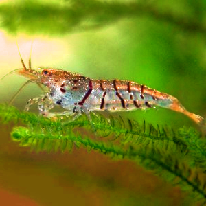 Tiger Shrimp Caresheet