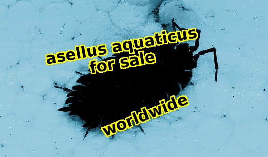 Asellus Aquaticus for sale – List of worldwide vendors